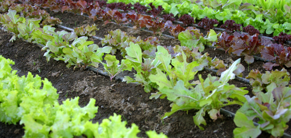 lettucegardenbanner2