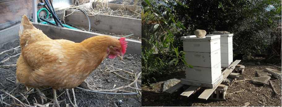 Chicken and Bees