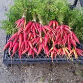 Carrots from Earth First Eco-Farms