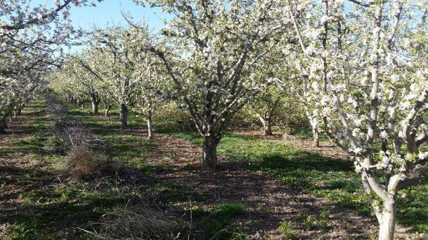 Apple trees in bloom at Pyne Farms