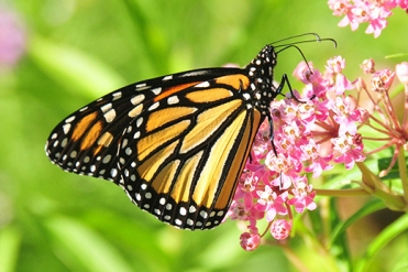 Monarch on milkweed - National Resources Conservation Service.jpg