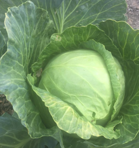 Locally grown cabbage