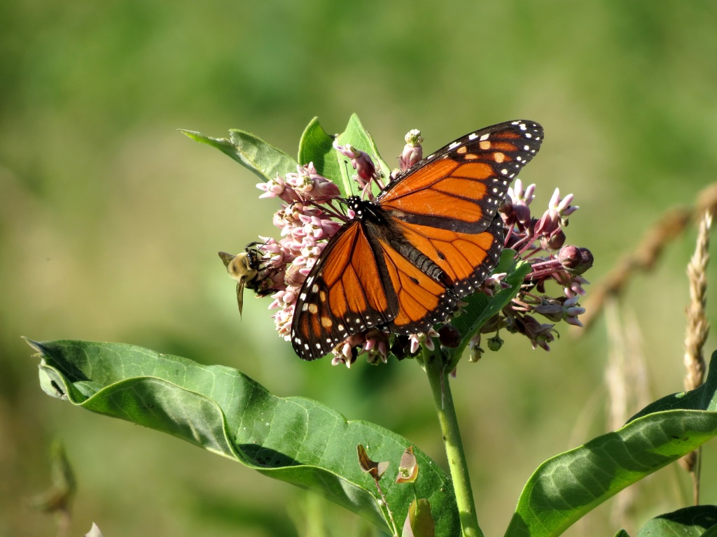 A photograph of a monarch butterfly sharing a milkweed plant with a bee.