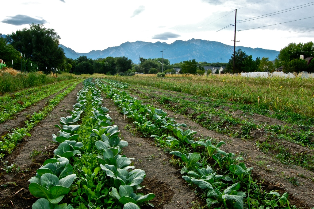 Photograph of produce growing in rows at local farm in Utah.