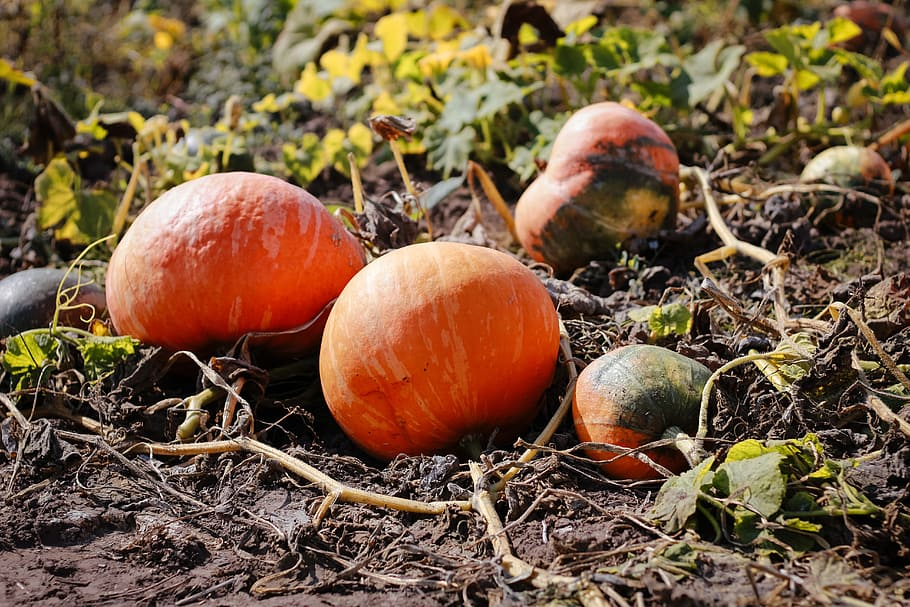 This image has an empty alt attribute; its file name is pumpkin-field-autumn-halloween.jpg