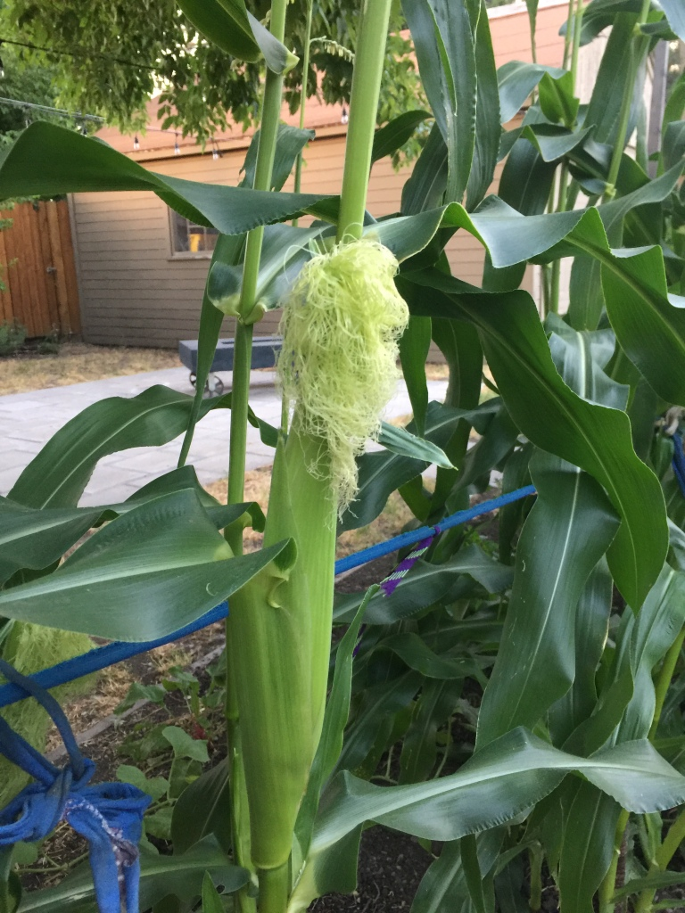 An ear of corn growing in a backyard in SLC.