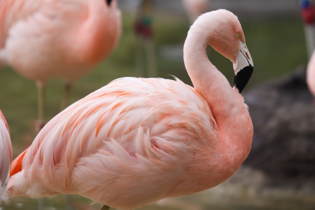 Photo of one of Tracy Aviary's Chilean flamingos.